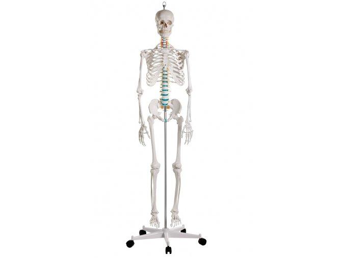 erler zimmer emberi csontvaz modell oscar