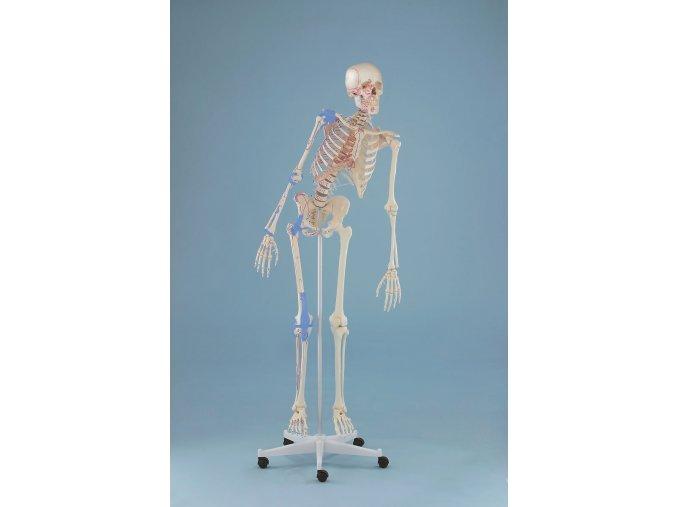 emberi csontvaz modell max hajlekony gerincoszloppal kijelolt izmokkal es kotoszovetekkel