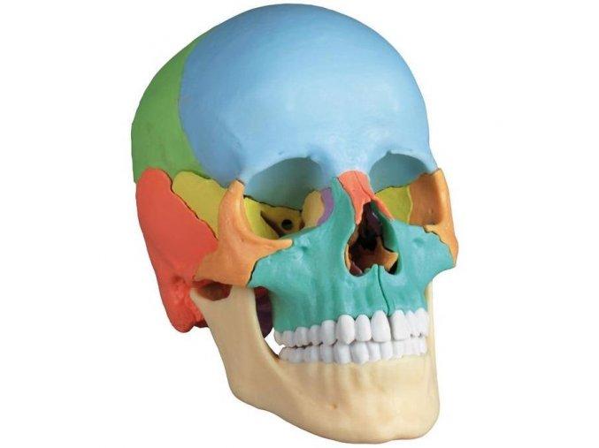 erler zimmer emberi koponya 22 reszes didaktikai modell