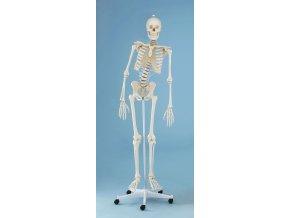 erler zimmer hugo csontvaz anatomiai modell hajlekony gerincoszloppal
