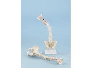 erler zimmer emberi gerincoszlop medencevel es izmokkal