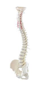 Model chrbtice
