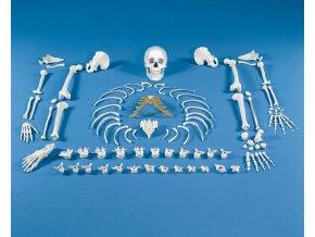 Rozložená kostra človeka - súbor kostí