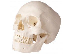 lebka cloveka 5 dielny model pre zubarov 2