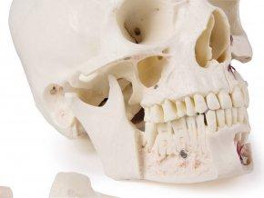 lebka cloveka 14 dielny didakticky model erler zimmer2