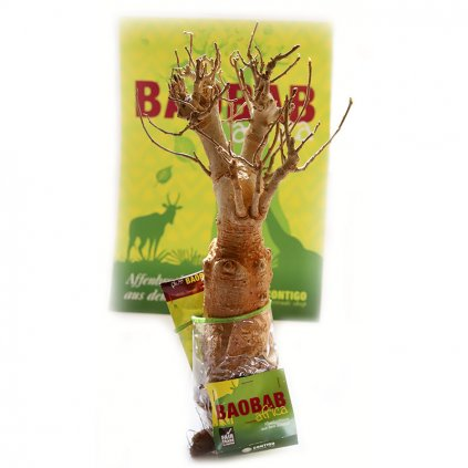 Fair trade sazenice baobabu ze Senegalu, 8 9 let stará
