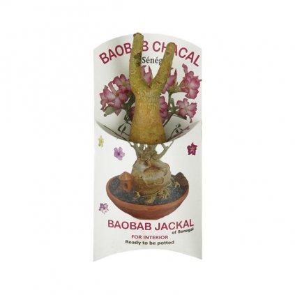 Fair Trade sazenice baobabu šakal ze Senegalu