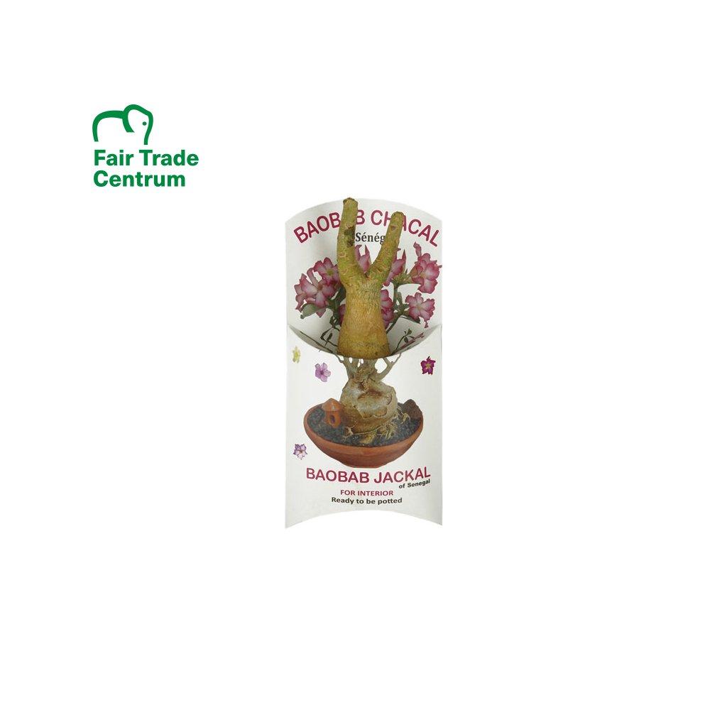 Fair trade sazenice baobabu šakal ze Senegalu, 1 2 roky