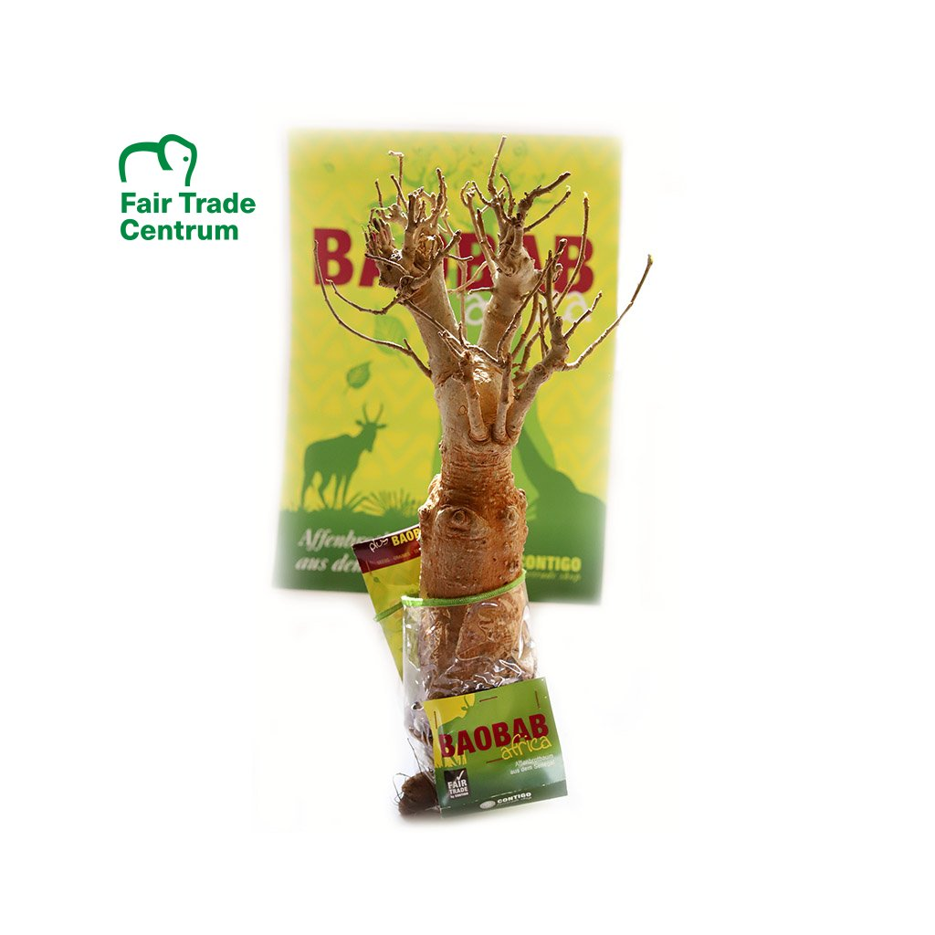 Fair trade sazenice baobabu ze Senegalu, 8 9 let