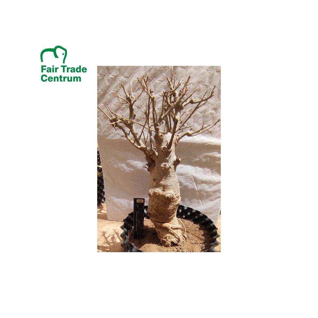 Fair trade sazenice baobabu ve věku 15 let
