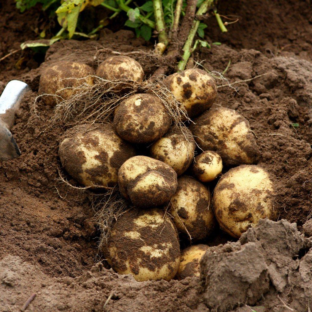 rane brambory