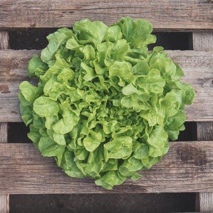 salat dubovy list zeleny