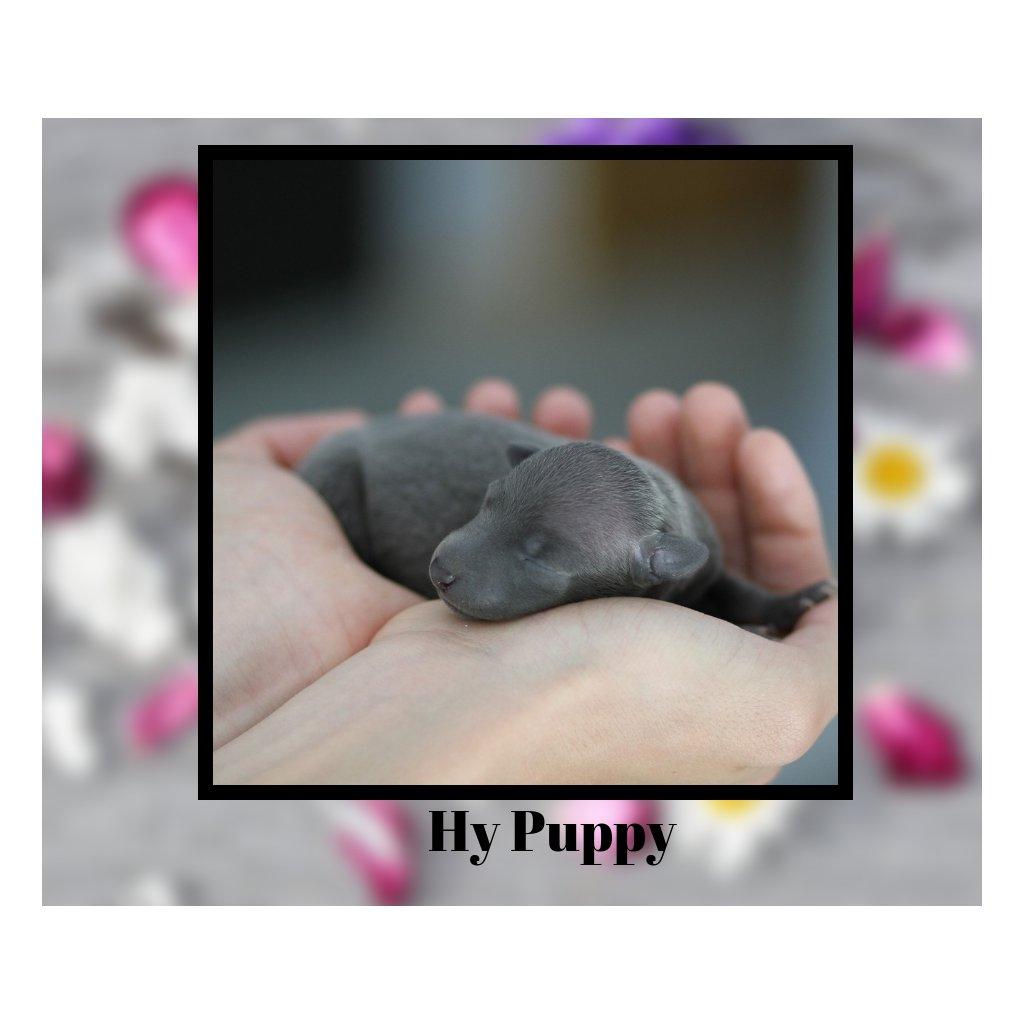 hy puppy
