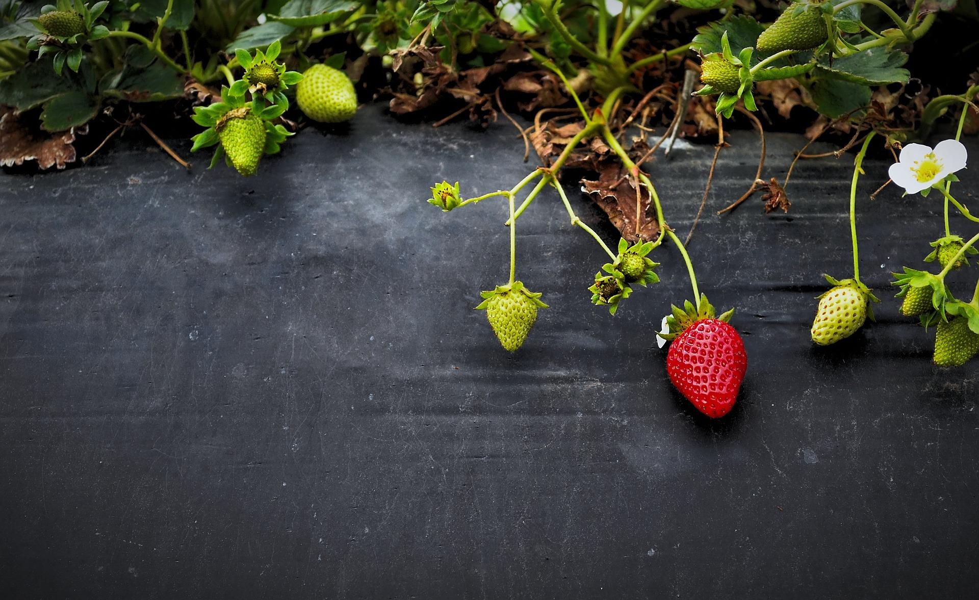 strawberries-g864d63c51_1920