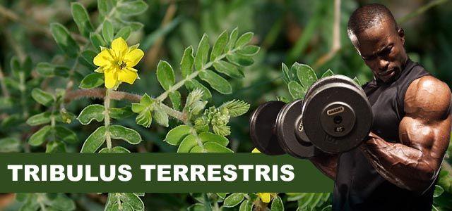 Tribulus Terrestris - Co to je a jaké jsou jeho účinky