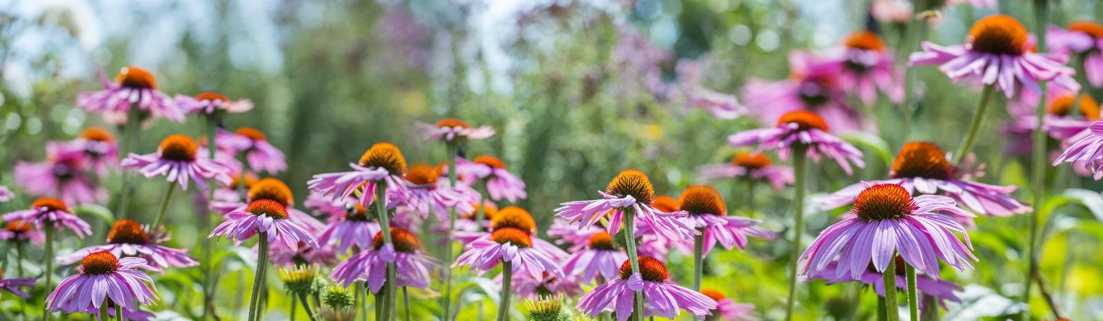 Luční byliny – růžové květy Echinacey.