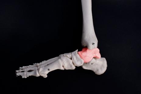 talus_bone