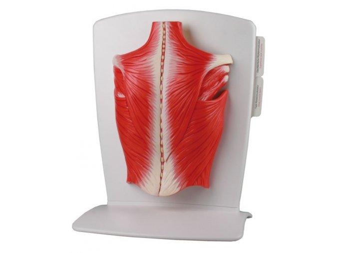Model chrbtového svalstva - originál (Germany)