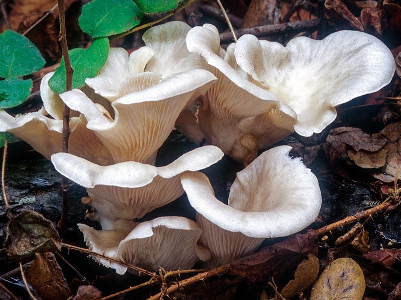 Pleurotus_ostreatus(mgw-02)