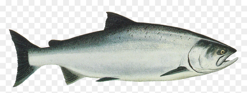 233-2338203_salmon-png-transparent-chinook-king-salmon-png-download