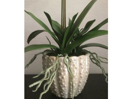 Listy a kořeny - orchidej