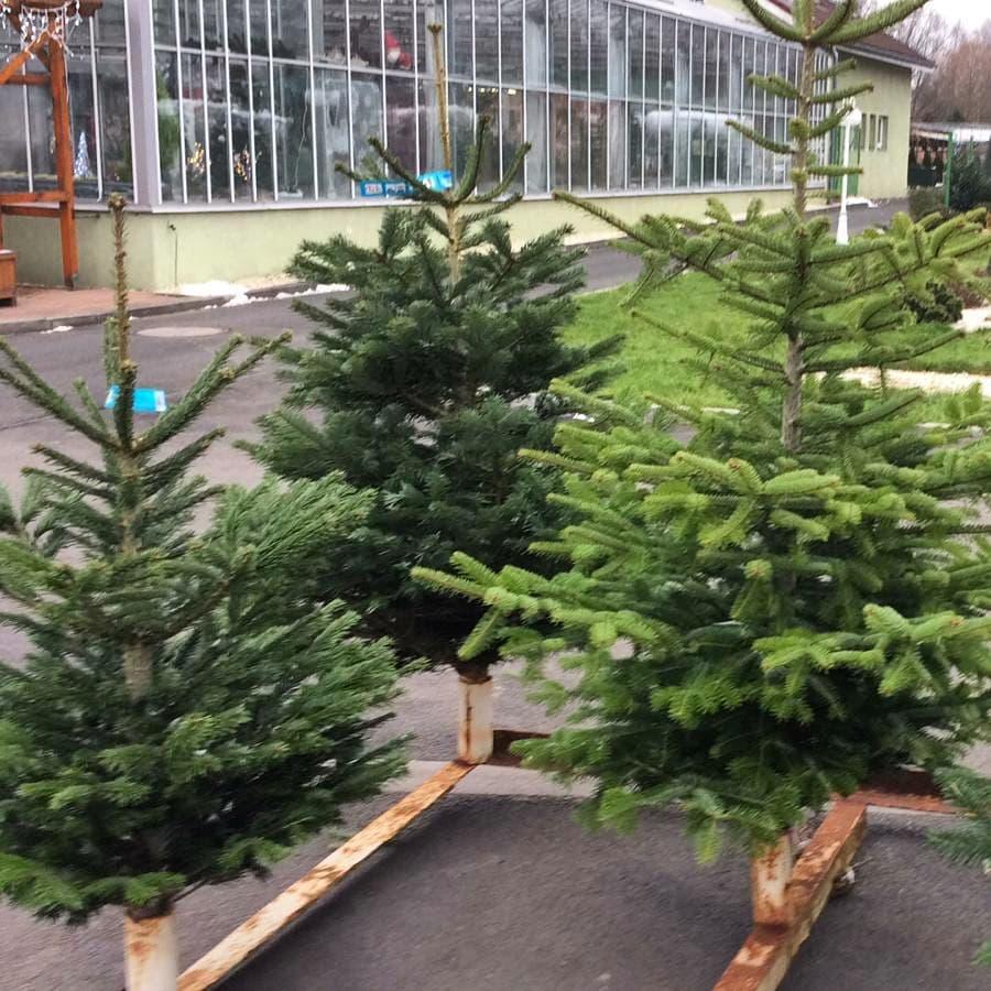 Vánoční stromky v prodeji - stříbrné smrky, borovice, kavkazské jedle
