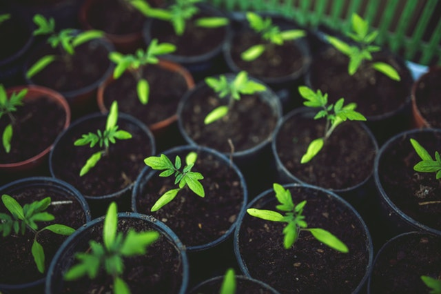 Připravte se na jaro, přijďte si pro sazenice trvalek, cibuloviny, brambory a další