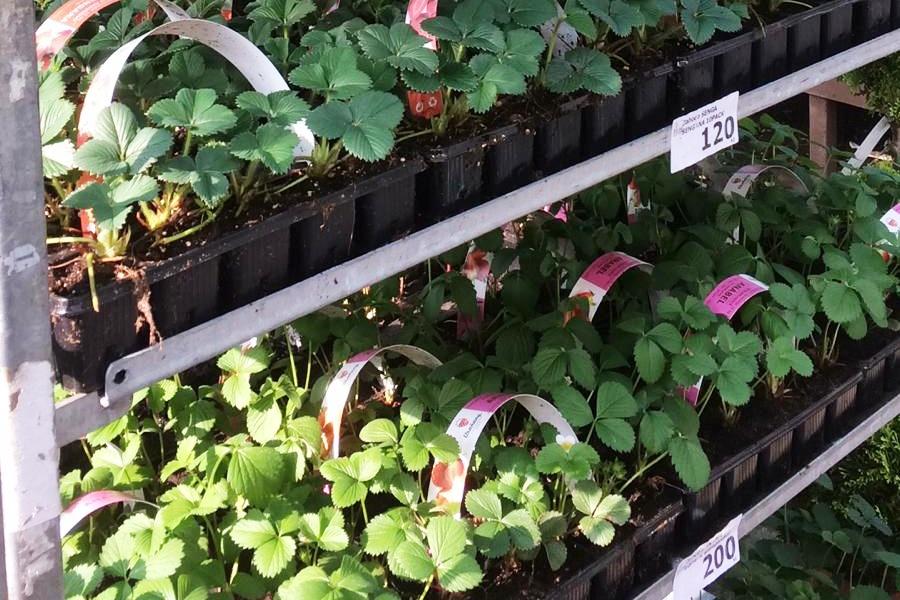 Sadba jahod, speciální substráty a hnojiva