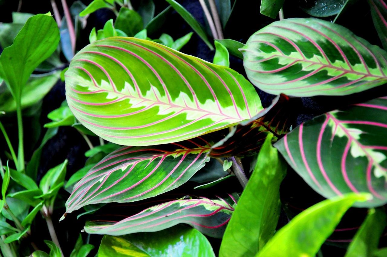 Maranta: Pôsobivá rastlina z pralesov kvitne len za odmenu