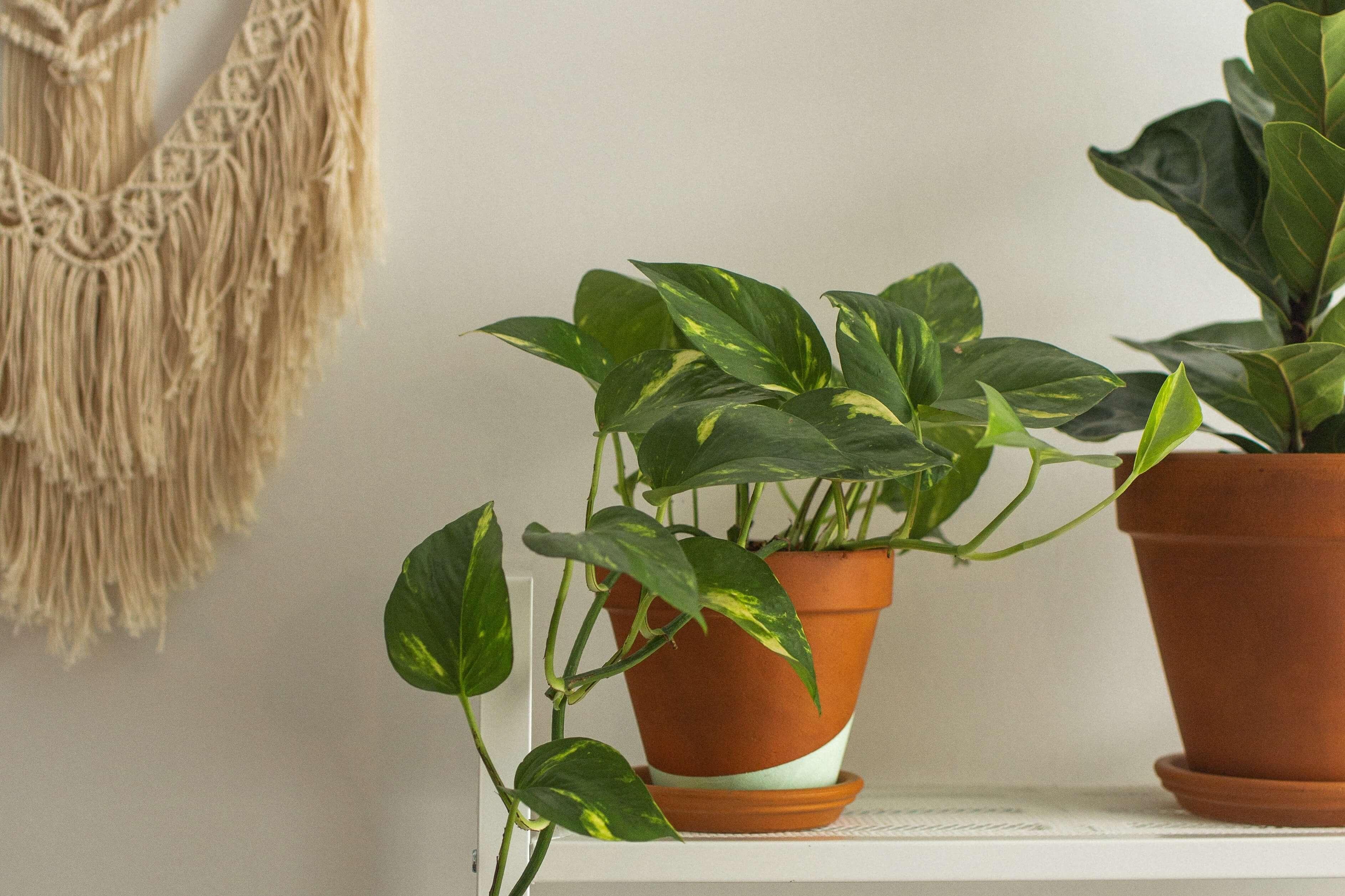 Potosovec: Nenáročná rastlina pre začiatočníkov, ktorú si zamilujete