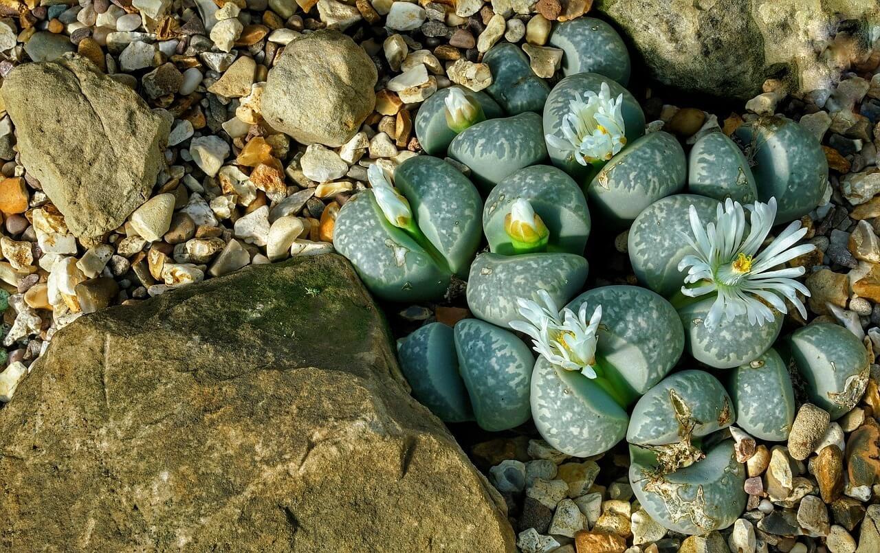 Lithops – kvitnúce kamienky, ktoré milujú najmä deti