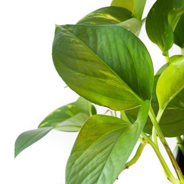 epipremnum-aureum-florecita