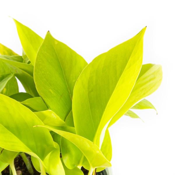 epipremnum-aureum-neon-florecita