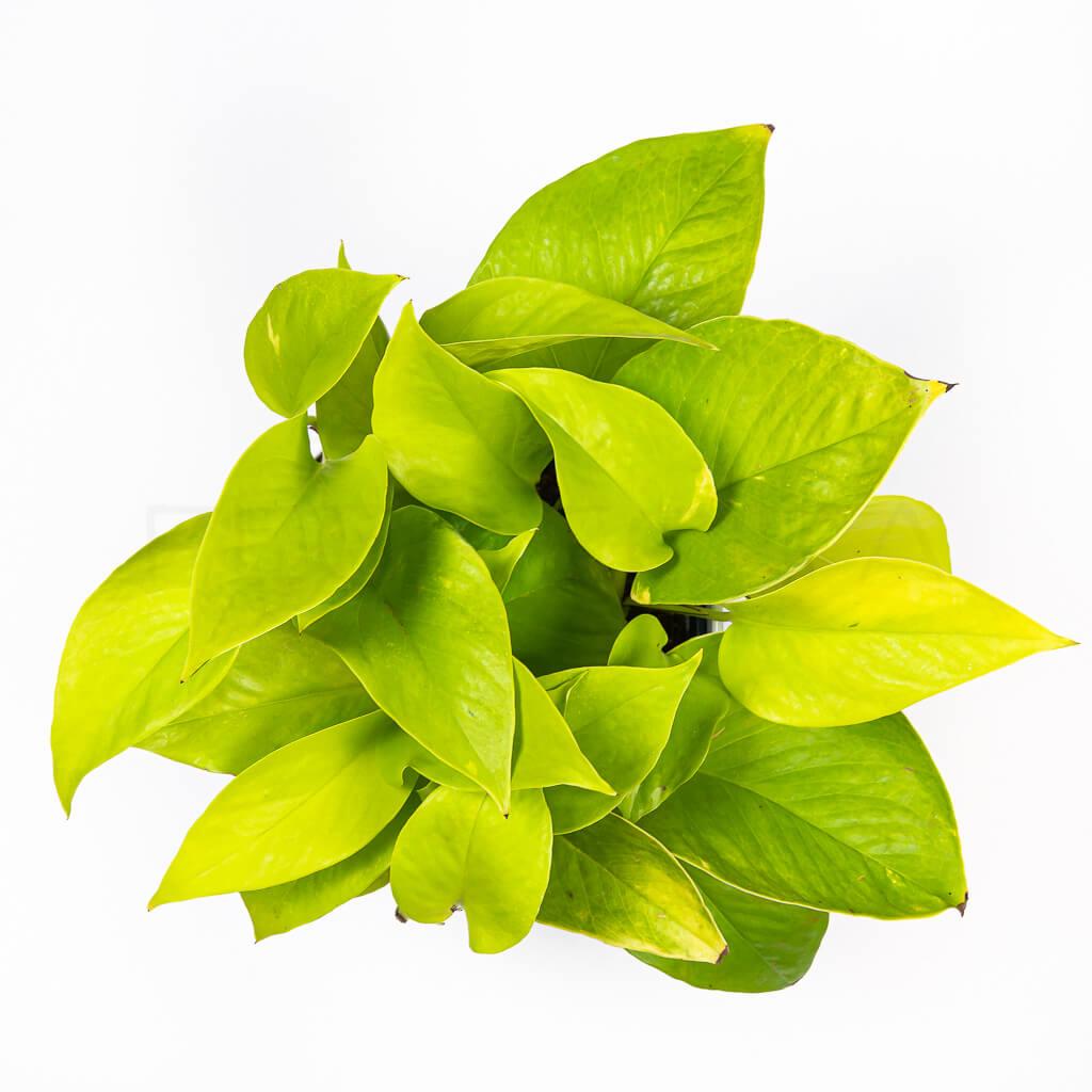 pothos-neon-florecita-026
