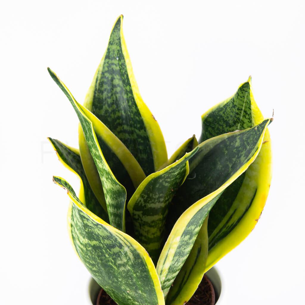 sansevieria-laurentii-florecita-025_1