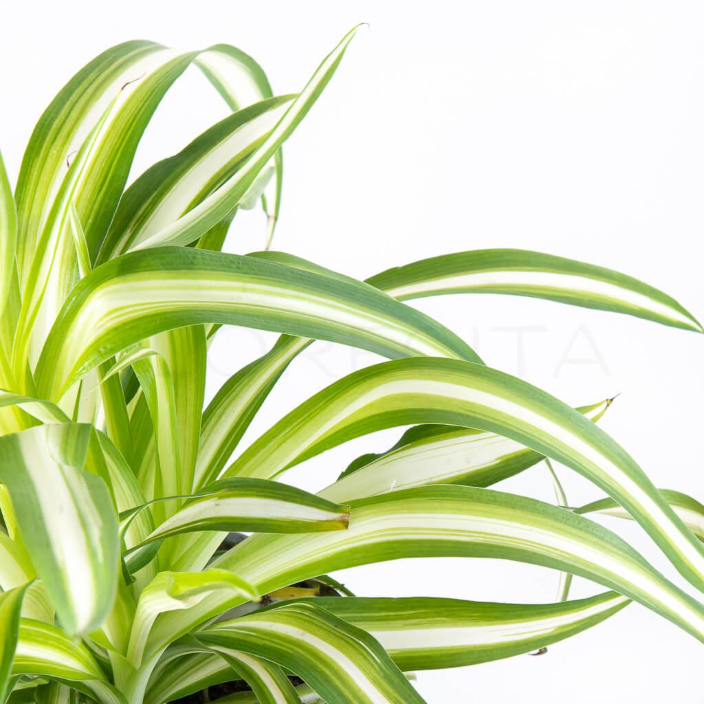 zelenec-chochlaty-florecita-026
