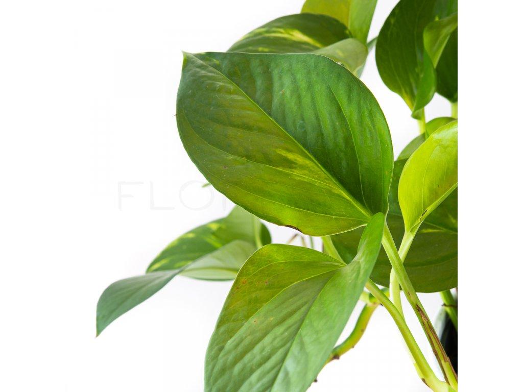 epipremnum aureum florecita 025