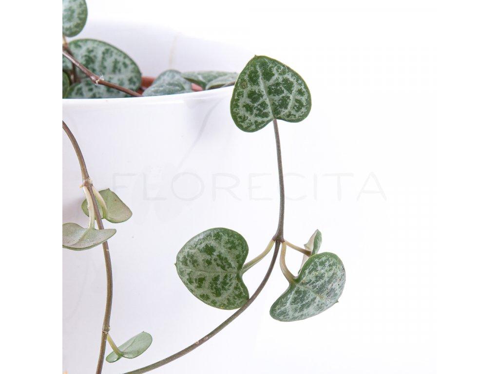 ceropegia woodii florecita 003