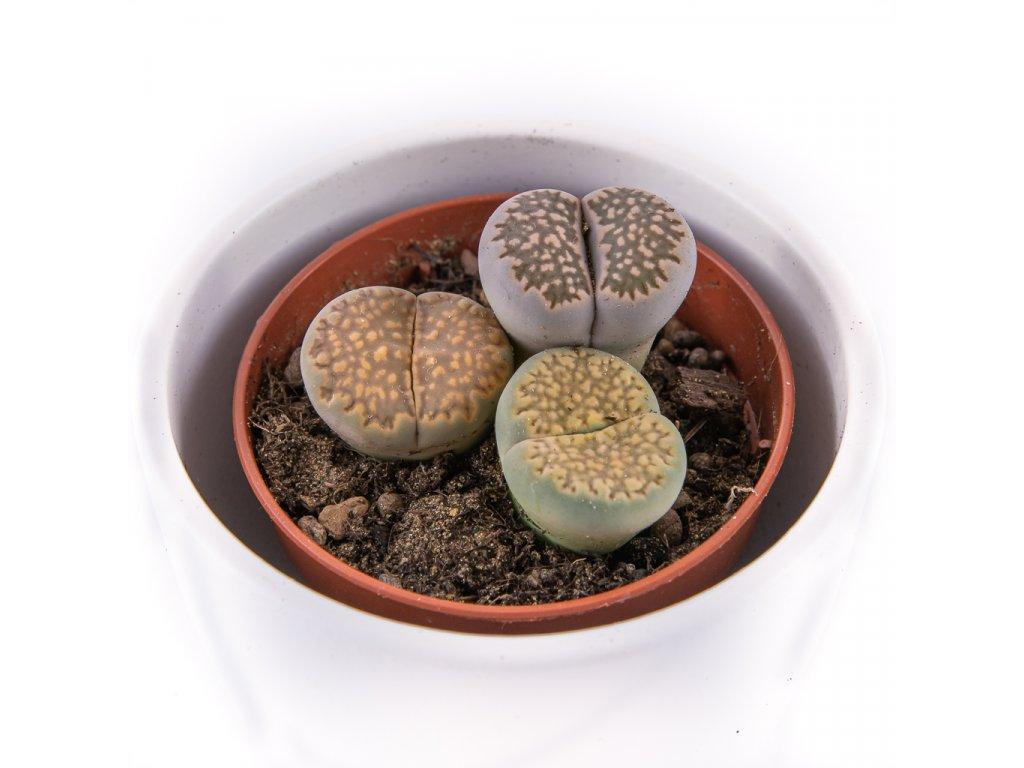 zive kamene florecita 006