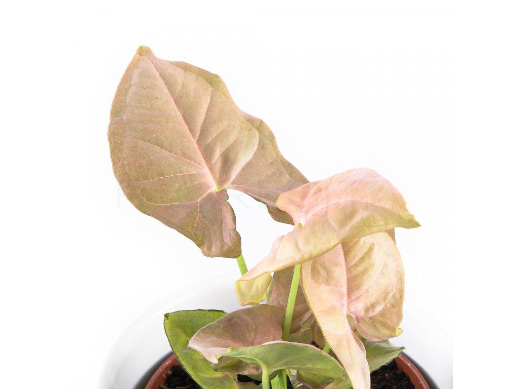 syngonium neon robusta florecita 026