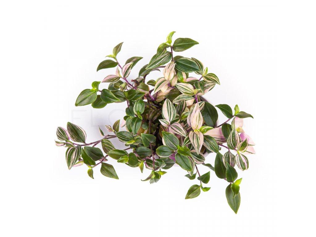 tradescantia quadricolor florecita 027