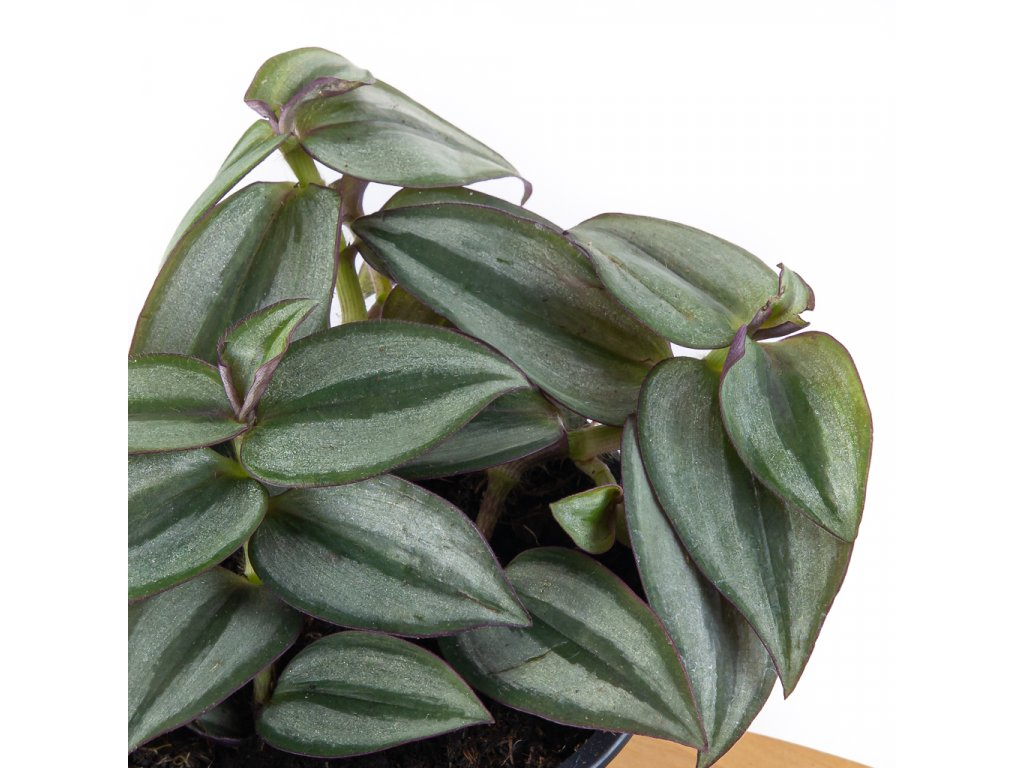 tradescantia zebrina florecita 002