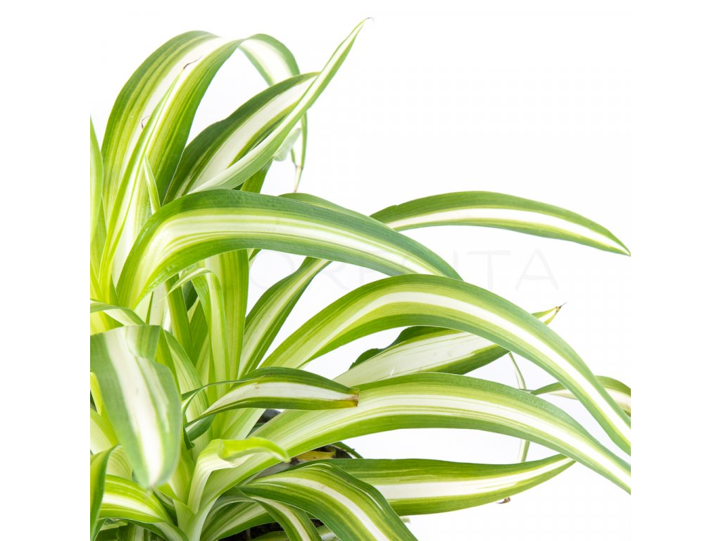 zelenec chochlaty florecita 026