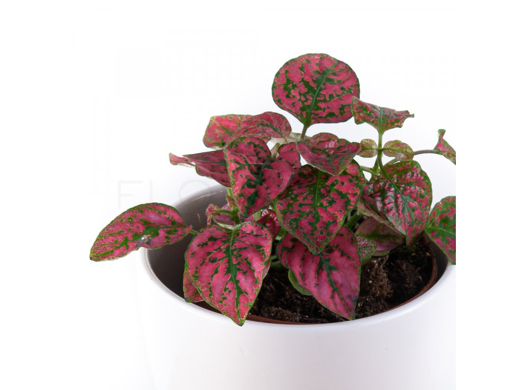 hypoestes cerveny florecita 025 2
