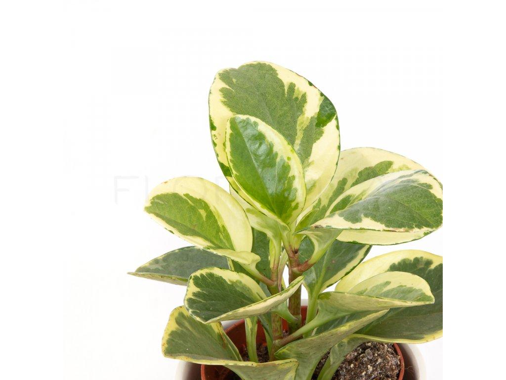 peperomia obtusifolia variegata florecita 002