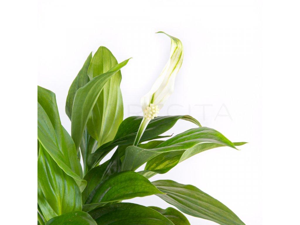 lopatkovec spathiphyllum florecita 002
