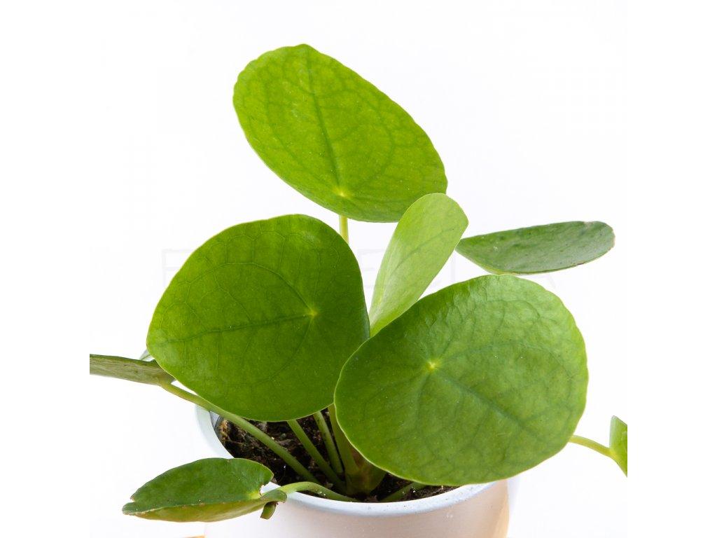pilea peperomioides florecita 002