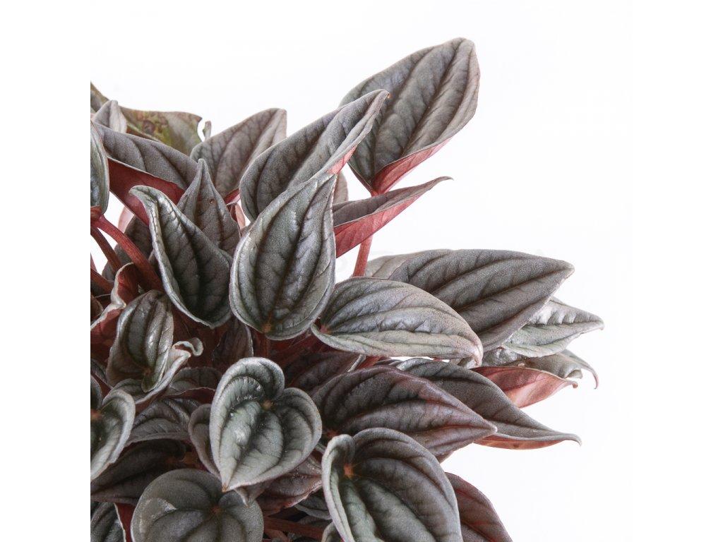 peperomia mendoza florecita 002