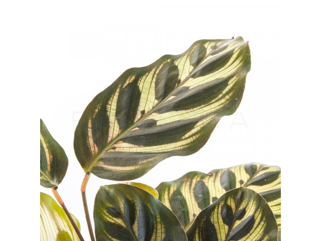 calathea makoyana florecita 002