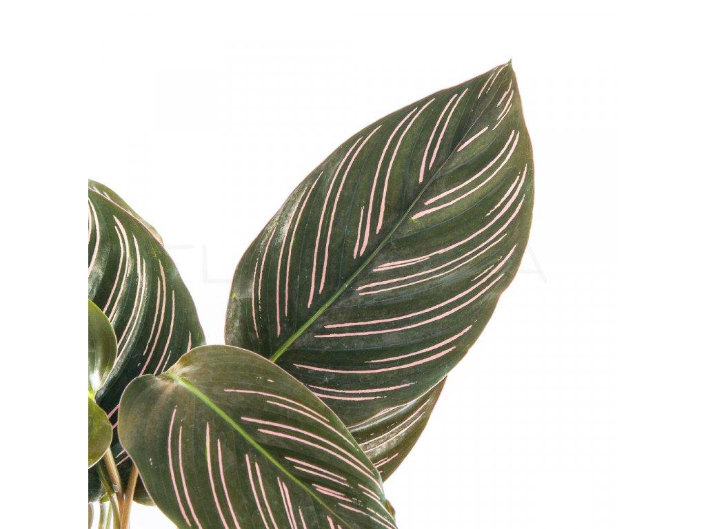 calathea ornata sanderiana florecita 002